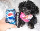 tiny teacup poodle