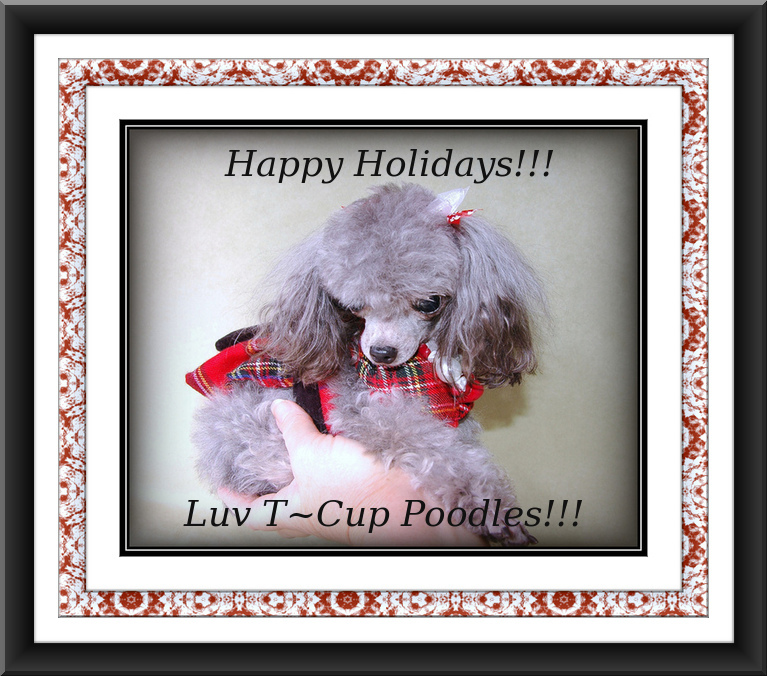 Toy Parti Poodle Breeders Florida – Wow Blog