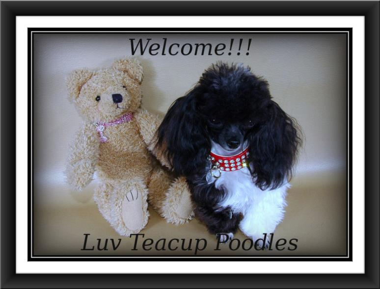 Luvteacuppoodles Home/teacups, tiny toy & standard puppies 4